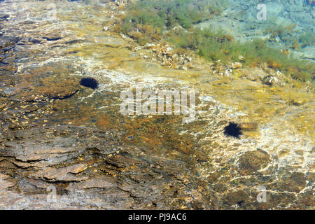 Bunte Unterwasserwelt Sea World und schwarzen Seeigel in ruhigen, transluzente Flachen Wasser - Stockfoto