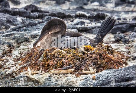 Nesting flugunfähigen Kormoran. Fernandina, Galapagos, Ecuador. - Stockfoto