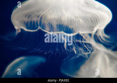 Ohrenquallen (Aurelia Aurita) schwimmend auf dunkelblauem Hintergrund Stockfoto
