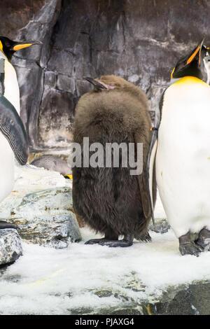 Kolonien von Pinguinen auf das Reich der Pinguin Ausstellung in SeaWorld, Orlando angezeigt - Stockfoto