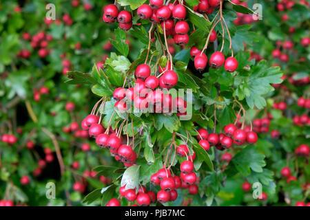 Weißdorn oder Beeren im September - Stockfoto