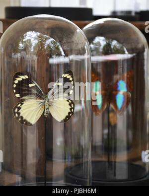Schmetterlinge in einem transparenten Bell jar - Stockfoto