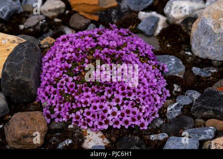 Purple mountain Steinbrech (Saxifraga oppositifolia) Blühende in Spitzbergen, Norwegen. - Stockfoto