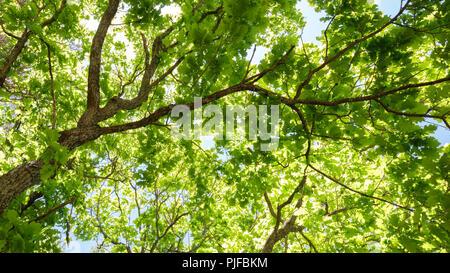 Vielzahl Kronen der Bäume im Frühjahr Wald gegen den blauen Himmel mit der Sonne. Ansicht von unten auf die Bäume - Stockfoto