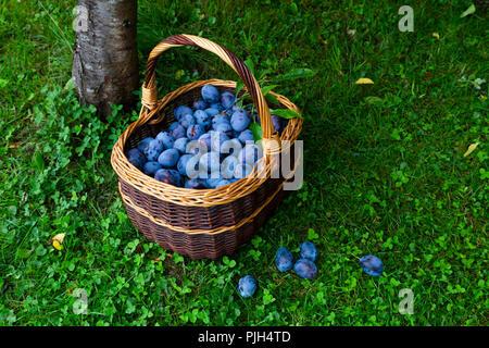 Frisch lecker und saftigen Pflaumen in einem braunen Warenkorb ruht auf dem Gras neben einem pflaumenbaum in einem Obstgarten geerntet - Stockfoto