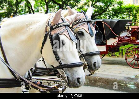 2 schöne Pferde im Kabelstrang stehen auf einer Straße in Wien, Österreich, Europa. Pferdekopf. - Stockfoto