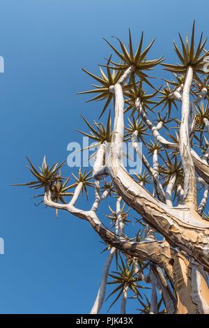 """Zweige eines Köcherbaum im Köcherbaumwald/""""Giant's Playground"""" in der Nähe von Keetmanshoop, Namibia - Stockfoto"""