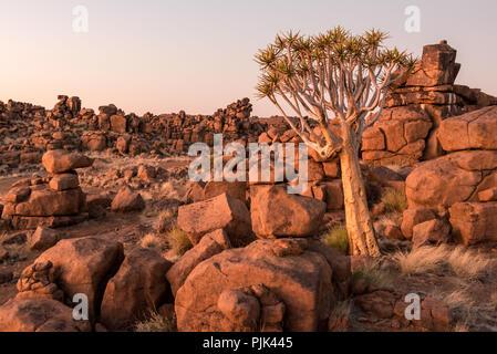 """Der Köcherbaum im Köcherbaumwald/""""Giant's Playground"""" in der Nähe von Keetmanshoop, Namibia - Stockfoto"""