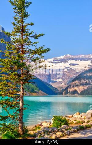 Lone Pine Tree am Ufer des Lake Louise im Banff National Park mit seinen Gletscher-fed türkisfarbenen Seen und Mount Victoria Gletscher im Hintergrund. V - Stockfoto