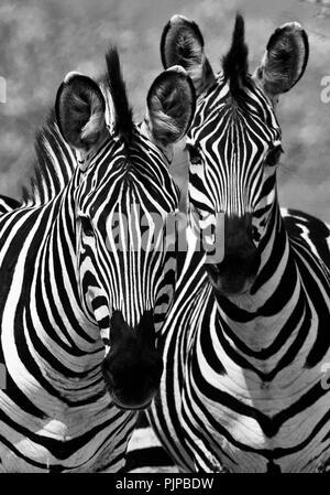 Obwohl oberflächlich ähnlichen jedes zebra Streifenmuster ist einzigartig, notwendig für individulas innerhalb der Herde erkannt zu werden. Dies ist besonders Imp - Stockfoto