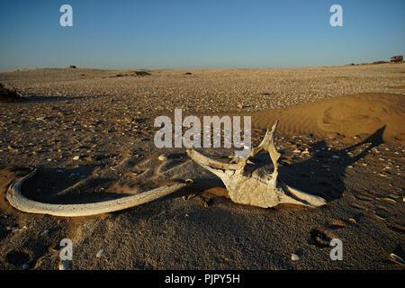 Walknochen gebleicht in der Sonne liegen auf dem Sand bei Meob Bay Walfangstation, Skelettküste, Namibia, Afrika - Stockfoto