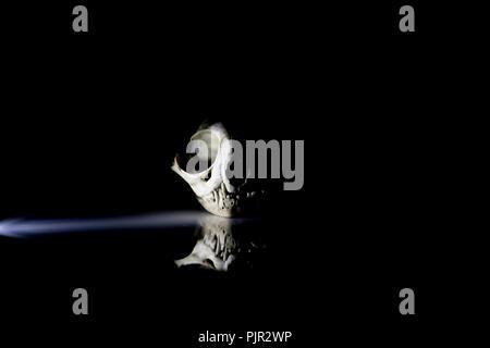 Künstlerische Ansicht einer Katze Totenkopf auf schwarzem Hintergrund zu reflektieren. Katze Anatomie. Tier den Schädel. - Stockfoto