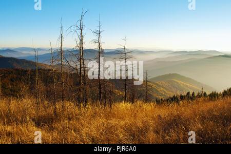 Mehrere Tote getrocknet Kiefern unter den Hügeln von Smoky Mountain Range in orange, gelb Laubwald bedeckt, Grüne Pinien unter blauen wolkenlosen Himmel auf - Stockfoto
