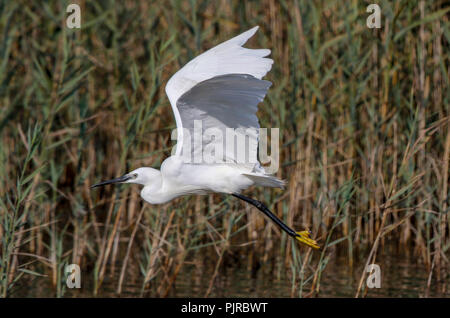 Seidenreiher (Egretta Garzetta) - Stockfoto