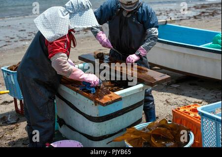 Fischerei Arbeiter geernteten Algen zum Trocknen auf einem Strand in Kurihama, Kanazawa Präfektur, Japan am 30. April 2009. Kollektiv als Kais bekannt - Stockfoto