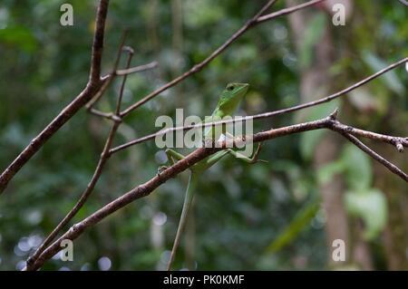 Eine grüne Crested Lizard (Bronchocela cristatella) in dünnen Ästen im Gunung Mulu National Park, Sarawak, Malaysia, Borneo gehockt