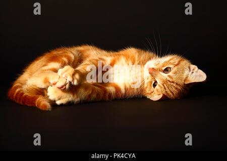 Ingwer Mackerel Tabby 12 Wochen altes Kätzchen auf einem schwarzen Hintergrund isoliert