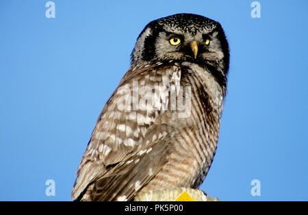- Northern hawk Owl (Surnia Ulula) auf einer Straße Marker in der Nähe von Nome, Alaska gehockt - Stockfoto
