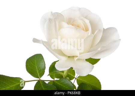 Weiße Rose Blume auf weißem Hintergrund - Stockfoto