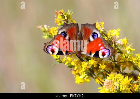 Tagpfauenauge sitzt auf einem Ast mit gelben Blumen, im Hintergrund einen leichten unscharfen Hintergrund von Gras, Flügel geöffnet sind, Insekt - Stockfoto