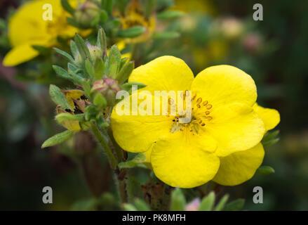 """Die potentilla fruticosa 'ommerflor (AKA strauchigen Cinquefoil ommerflor'S""""), eine gelbe buschige sommergrüne Strauch im frühen Herbst in West Sussex, England, UK. - Stockfoto"""