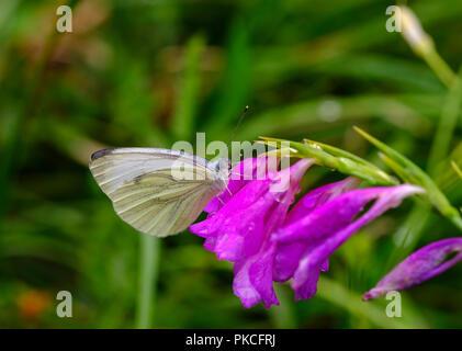 Rapsweißling (Pieris napi) auf Blüte von Marsh Gladiolen (Gladiolus palustris), Königsbrunner Heide, Augsburg, Schwaben - Stockfoto