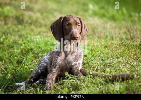 Deutsch Kurzhaar Pointer, kurtshaar Eine braun getupft Welpe liegt auf dem grünen Rasen neben dem Stick, in den Mündern der Stücke zerbissen Holz, sieht - Stockfoto