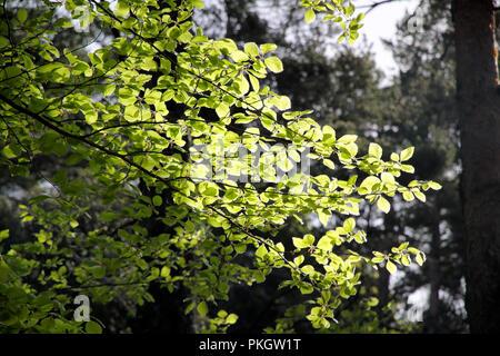 Schöne beleuchtete grüne Blätter aus einer nördlichen portugiesischen Wälder Stockfoto