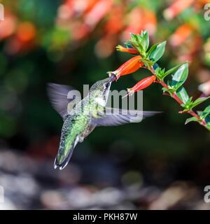 Ruby-throated hummingbird (Archilochus colubris), Weibliche, Fütterung auf mexikanische Zigarre Pflanze, Cuphea, Manitoba, Kanada. - Stockfoto