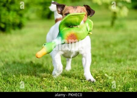 Die Jagd Hundeausbildung Spiel mit Spielzeug Ente zu holen zeigt Zähne - Stockfoto