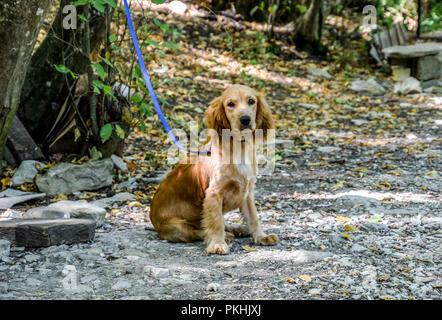 Rote Hund an der Leine an den Stamm eines Baumes gebunden. - Stockfoto