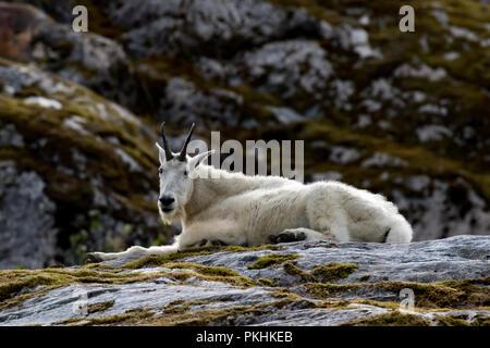 Eine Bergziege sitzt auf den Felsen über Tracy Arm in Southeast Alaska - Stockfoto