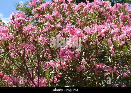 Rosa Oleander Nerium Strauch wächst in den tropischen Garten - Stockfoto