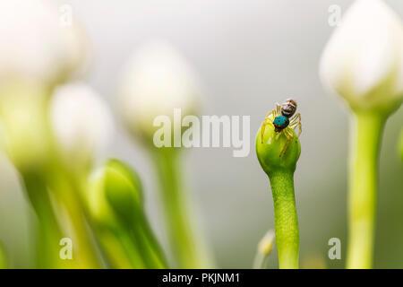 In der Nähe von Spider auf der Blume und verschwommenes weiß Blume Hintergrund. - Stockfoto
