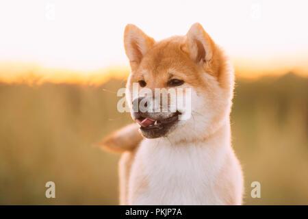 Close Up Portrait Schöne junge Rote Shiba Inu Welpen Hund im Freien während des Sonnenuntergangs. - Stockfoto