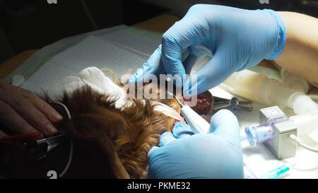 Hund hat Zähne auf dem OP-Tisch sauber. Hygiene der Mundhöhle bei Hunden. Zahnarzt Tierarzt behandelten Zähne, das Tier in Narkose in einer Tierklinik. Veterinärmedizin Zahnmedizin, Reinigung der Zähne vor Plaque und Stein. - Stockfoto