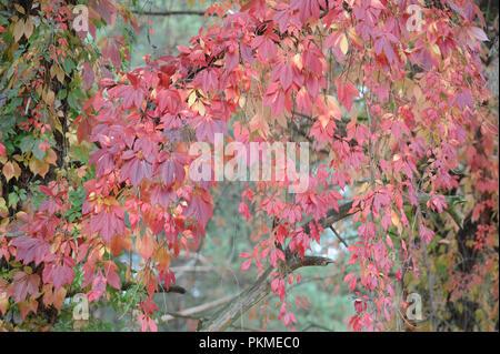 Wildem Wein im Herbst - Stockfoto