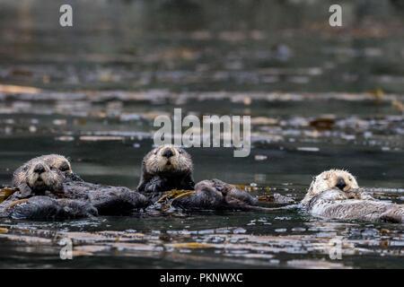 Sea Otter, Enhydra lutris, eine Marine Mammal und Wildlife Highlight im Kelp Wald von Südosten Alaska, Vereinigte Staaten von Amerika - Stockfoto