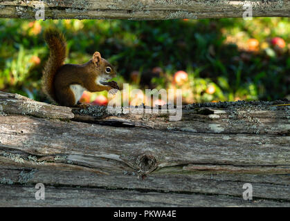 Hungriges Eichhörnchen Holding eine getrocknete Apfel sitzt auf der unteren Schiene eines verwitterten Zeder Schiene Zaun. - Stockfoto