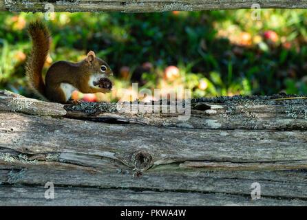 Hungriges Eichhörnchen essen eine getrocknete Apfel sitzt auf der unteren Schiene eines verwitterten Zeder Schiene Zaun. - Stockfoto