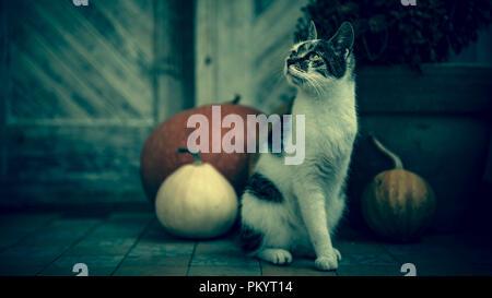 Katze mit amputierten Bein sitzen vor der Haustür mit Kürbisse für Halloween, Thanksgiving, Herbst Jahreszeit eingerichtet. Dark spooky Stimmung backgro - Stockfoto