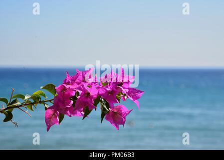 Bougainvillea am Meer. Konzept : Sommerfrische Entspannung. - Stockfoto