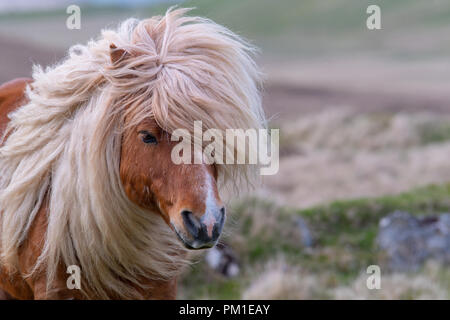 Ein einsamer Shetland pony gehen auf einem Moor in der Shetland Inseln - Stockfoto