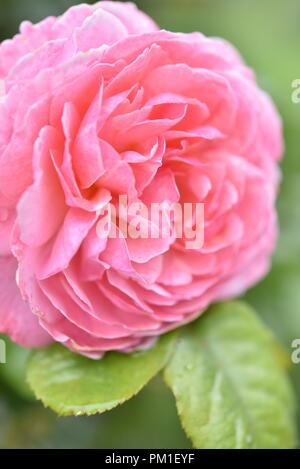 Einzelne Blüte Kordes Rose Kölner Flora - Stockfoto
