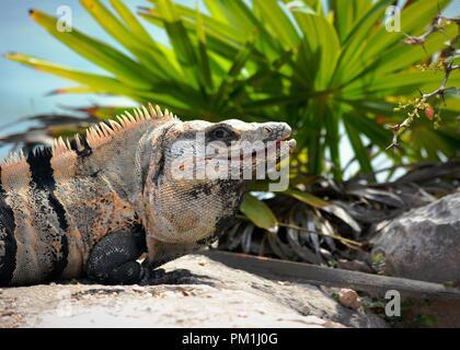 Spinytail mexikanischer Leguan sitzt auf Felsen und starrte Kamera im Schatten