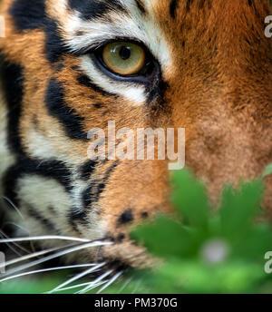 Close up Bengal Tiger Auge - Stockfoto