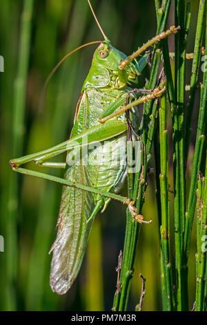Super Green Bush - Kricket (Tettigonia Viridissima) männlich in gemeinsamen Besen/Scotch Broom - Stockfoto