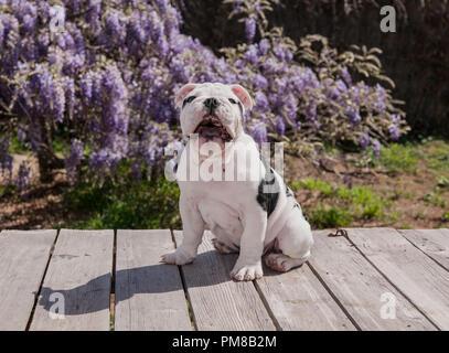 Schwarz & Weiß baby Bulldogge Welpe Hund an Deck sitzen mit Mund weit geöffnet. Er erscheint laut zu lachen. Etwas war wirklich lustig. - Stockfoto