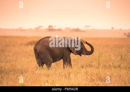Junge afrikanische Elefant in der Savanne der Serengeti bei Sonnenuntergang. Akazien auf den Ebenen im Serengeti National Park, Tansania. Wildlife Safari - Stockfoto