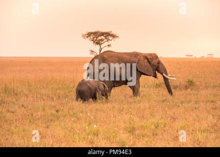 Übergeordnete Afrikanischer Elefant mit seinem jungen Baby Elefant in der Savanne der Serengeti bei Sonnenuntergang. Akazien auf den Ebenen im Serengeti National Park, Ta - Stockfoto